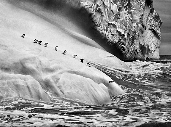 A line of penguins running off an iceberg plunging into the water.