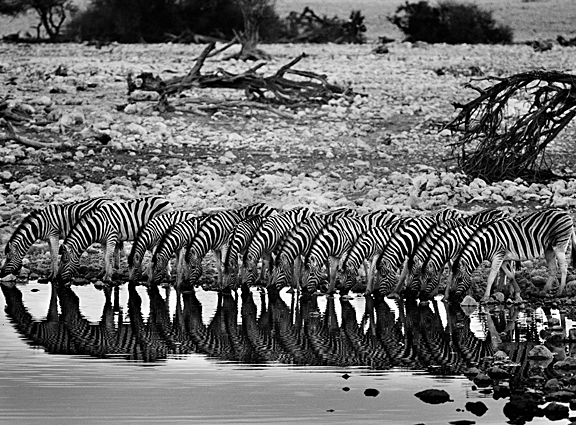 A line of zebras drinking insync at a pond